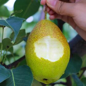 红香酥梨 不只是好吃 脆甜多汁 滋阴润肺 净重8斤装包邮