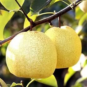 滕州酥梨  百年老树 自然成熟原产地直发净果5斤装