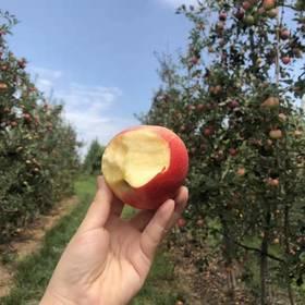现摘Royal Gala苹果当季新鲜水果8斤迷你苹果嘎啦清香脆甜多汁