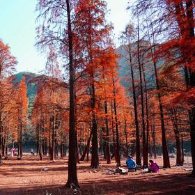 11.24徒步宁波秘境古道,探寻最美红杉林,漫步山顶茶园(1天活动)