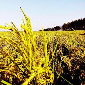 """无公害""""有机""""水稻种植服务,土地代种服务,一亩,一年,品质保证,新鲜绿色!"""