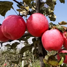 【一个不会说谎的苹果】现摘高甜 甘肃灵台有机苹果