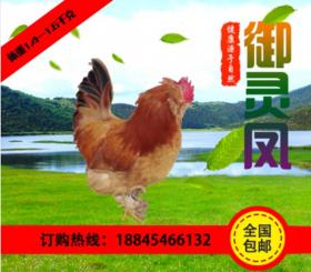 富锦御灵凤散养土鸡