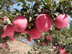 陕西农家自种的红富士现摘现发脆甜10斤