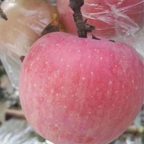 陕西渭南红富士苹果 75mm-85mm 10斤装 18-24个果装【严选X水果蔬菜】