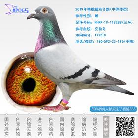2019年精挑靓灰台鸽-雌-编号192010
