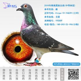 2019年精挑黑斑台鸽-雌-编号192009