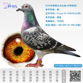2019年精挑五关台鸽-雌-编号192005