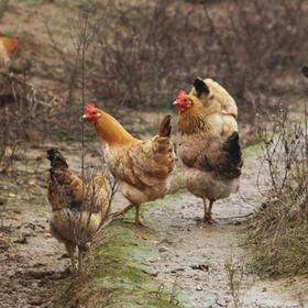 【买一送一】【顺丰发货】助农鸡 真空冷藏装运 放养土鸡 肉质鲜美
