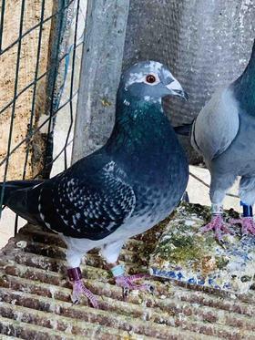 18年黑斑台鸽,母,编号40