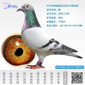 2019年精挑靓灰台鸽-雌-编号192002