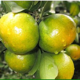 湖南常德石门柑橘蜜橘|中国柑橘之乡以早熟,质优著称|2-10斤装【严选X水果蔬菜】