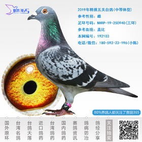 2019年精挑五关台鸽-雌-编号192103