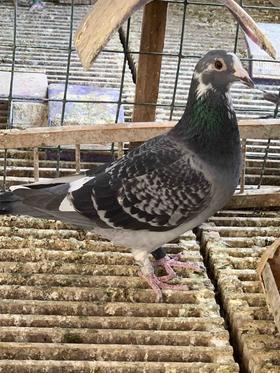 18年雨点白条台鸽,母,编号88,中等体型