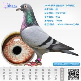 2019年精挑靓灰台鸽-雄-编号192215