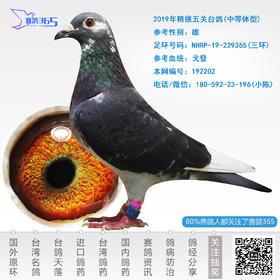 2019年精挑五关台鸽-雄-编号192202