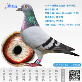 2019年精挑靓灰台鸽-雌-编号192210