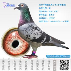 2019年精挑五关台鸽-雄-编号192207