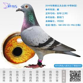 2019年精挑五关台鸽-雌-编号192201