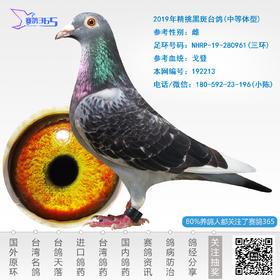 2019年精挑黑斑台鸽-雌-编号192213