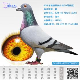 2019年精挑靓灰台鸽-雌-编号192203
