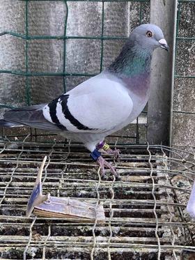 18年灰台鸽,母,编号98,中等体型