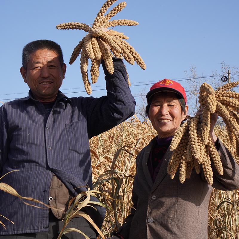 2020年新小米 陕北米脂小米 农家月子米 现磨现发 5斤装 商品图5