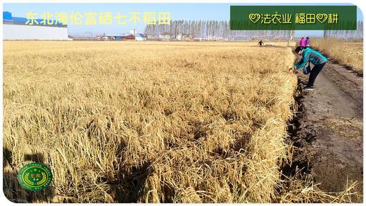 2021东北大米委托种植认养 黑土寒地香稻七不水稻大米CSA委托种植土地认购 黑龙江硒都海伦委托种植水稻土地配送份额1分-1亩 寒地世界品种苗稻2号 商品图10
