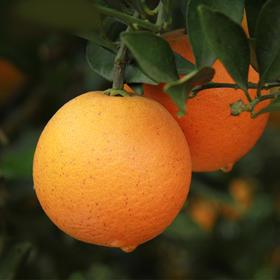【年后发货】1号冰糖橙子9斤装  仅有1000箱