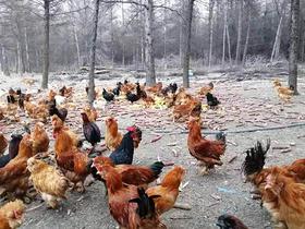 郊区四丰乡团结村徐家田家绿色遛达鸡每只100元净重4斤左右