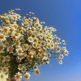 【A级洋甘菊特惠】一扎5枝可可爱爱的花材,洋甘菊不仅仅是好看,还是幸运花呢~,