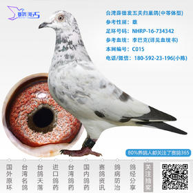 台湾薛德发五关归巢鸽-雄-编号C015