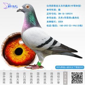 台湾薛德发五关归巢鸽-雄-编号C004
