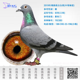 2019年精挑喷点台鸽-雌-编号192303