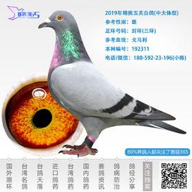 2019年精挑五关台鸽-雄-编号192311