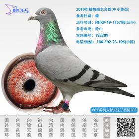 2019年精挑暗灰台鸽-雌-编号192309