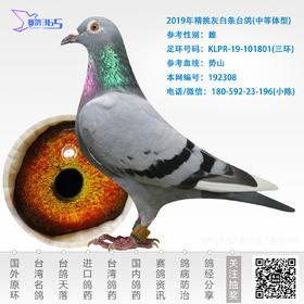 2019年精挑灰白条台鸽-雌-编号192308