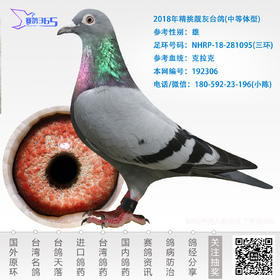 2018年精挑靓灰台鸽-雄-编号192306