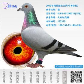 2019年精挑靓灰台鸽-雄-编号192310