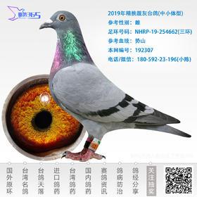 2019年精挑靓灰台鸽-雌-编号192307