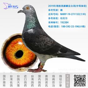 2019年精挑黑麒麟花台鸽-雌-编号192304