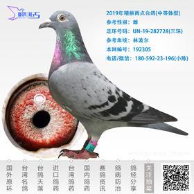 2019年精挑雨点台鸽-雌-编号192305