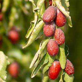 【若羌灰枣(原枣)5斤】  树上自然吊干,未清洗,核小皮薄,肉厚香甜