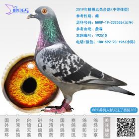 2019年精挑五关台鸽-雌-编号192510