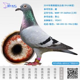 2019年精挑靓灰台鸽-雌-编号192411
