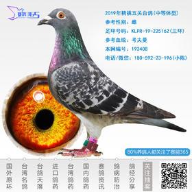 2019年精挑五关台鸽-雌-编号192408