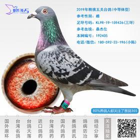 2019年精挑五关台鸽-雌-编号192405