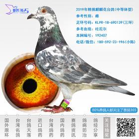 2019年精挑麒麟花台鸽-雌-编号192407