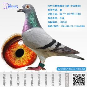 2019年精挑靓灰台鸽-雌-编号192501