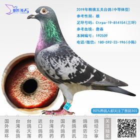 2019年精挑五关台鸽-雄-编号192509